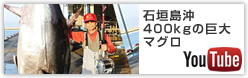 石垣島沖400kgの巨大マグロ